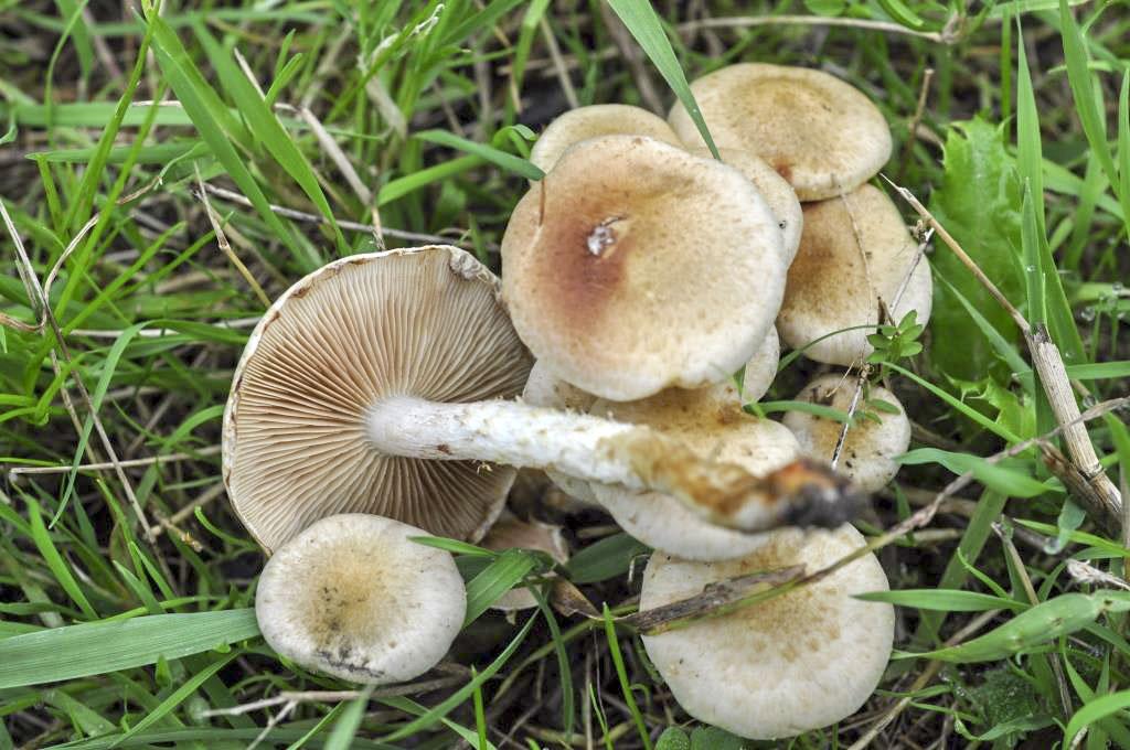Pholiota gummosa